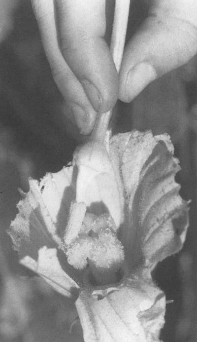 flower-pollen